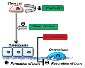 Concept of stem cell growth, differentiation to bone forming cells (osteoblasts) and on the other hand inhibition of bone resorbing cells (osteoclasts).